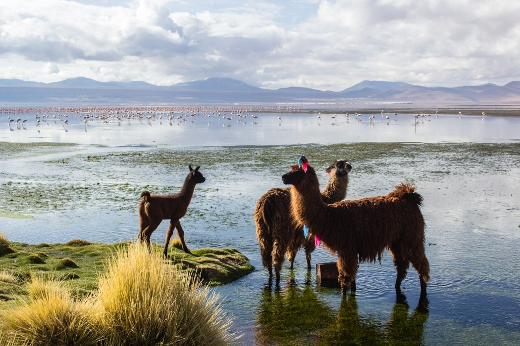Salar de Uyuni Tour: Jeep Tour über die Lagunenroute in Bolivien - Lamas an der Laguna Colorada