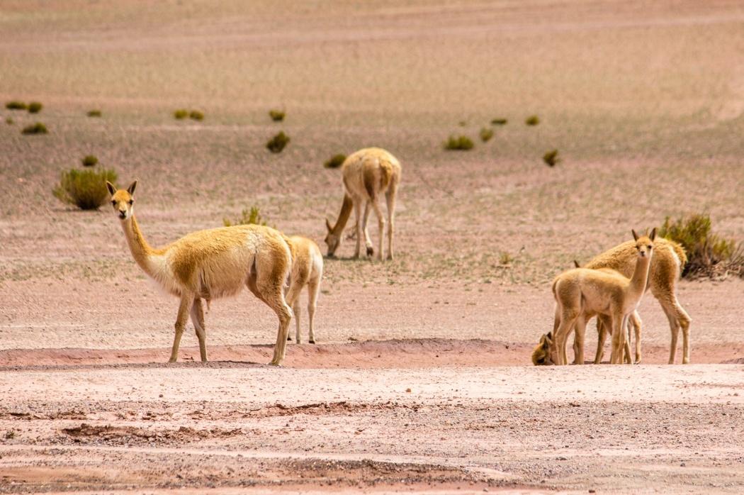 Salar de Uyuni Tour: Jeep Tour über die Lagunenroute in Bolivien - Eine Gruppe Vikunjas