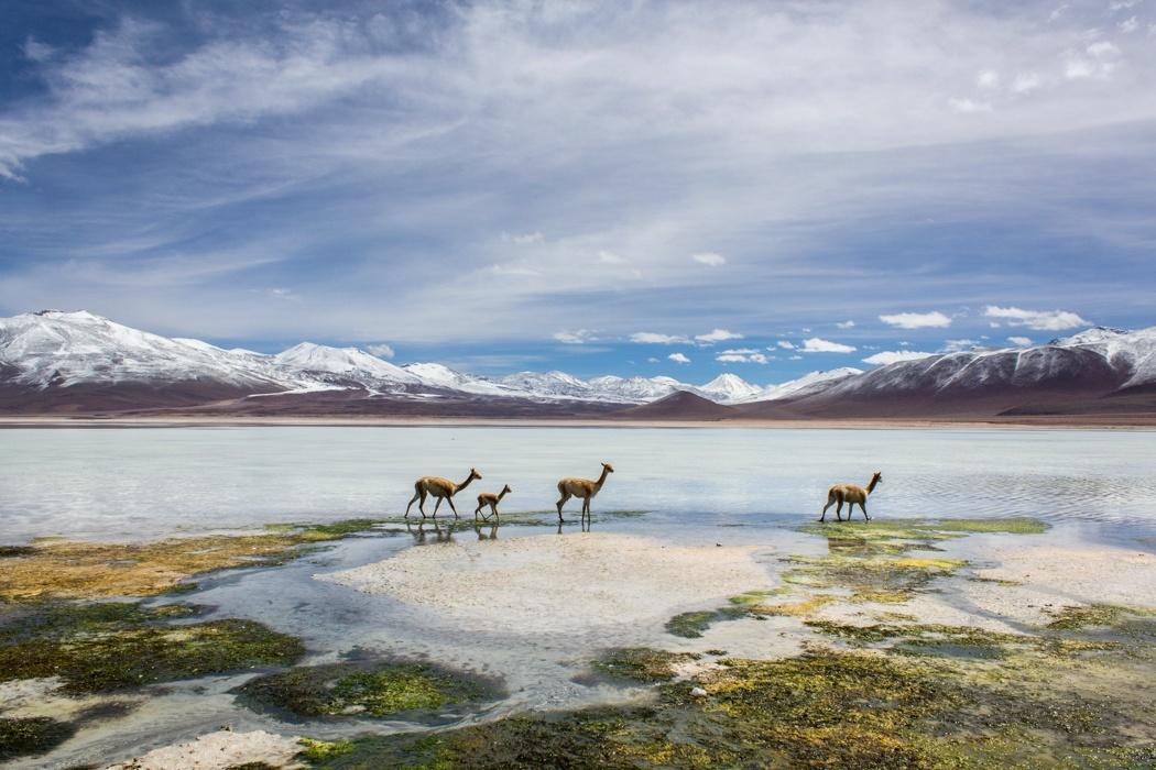 Salar de Uyuni Tour: Jeep Tour über die Lagunenroute in Bolivien - Vikunjas