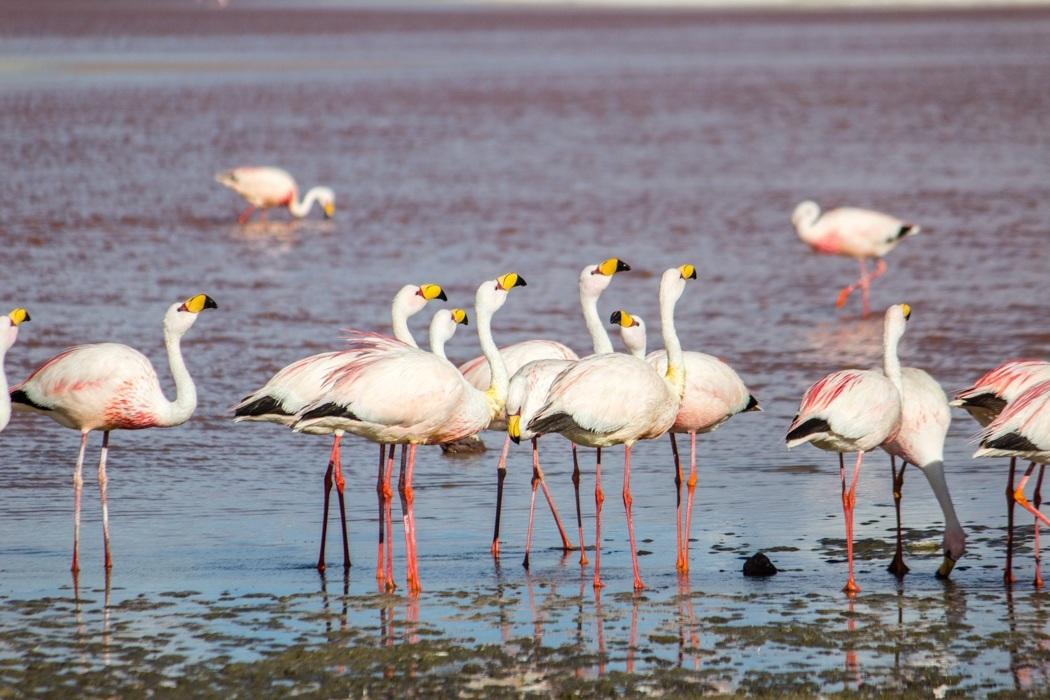 Salar de Uyuni Tour: Jeep Tour über die Lagunenroute in Bolivien - Flamingos in der Laguna Colorada