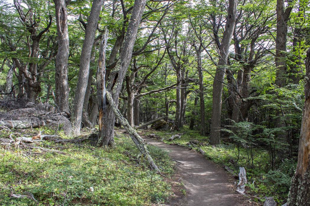 El Chaltén - Wanderung zur Laguna Los Tres - durch den Wald