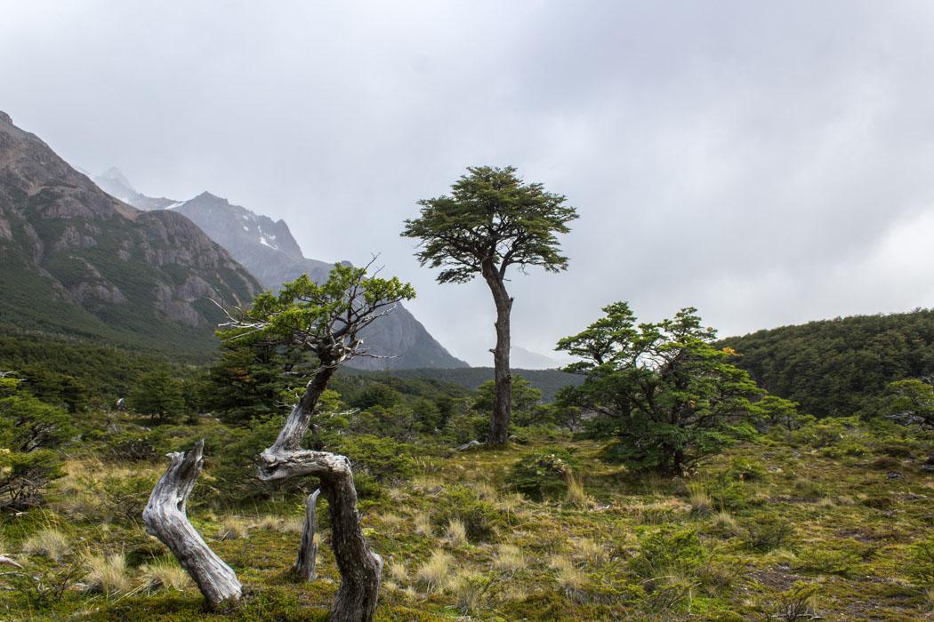 El Chaltén - Wanderung zur Laguna Los Tres - Knorrige Bäume