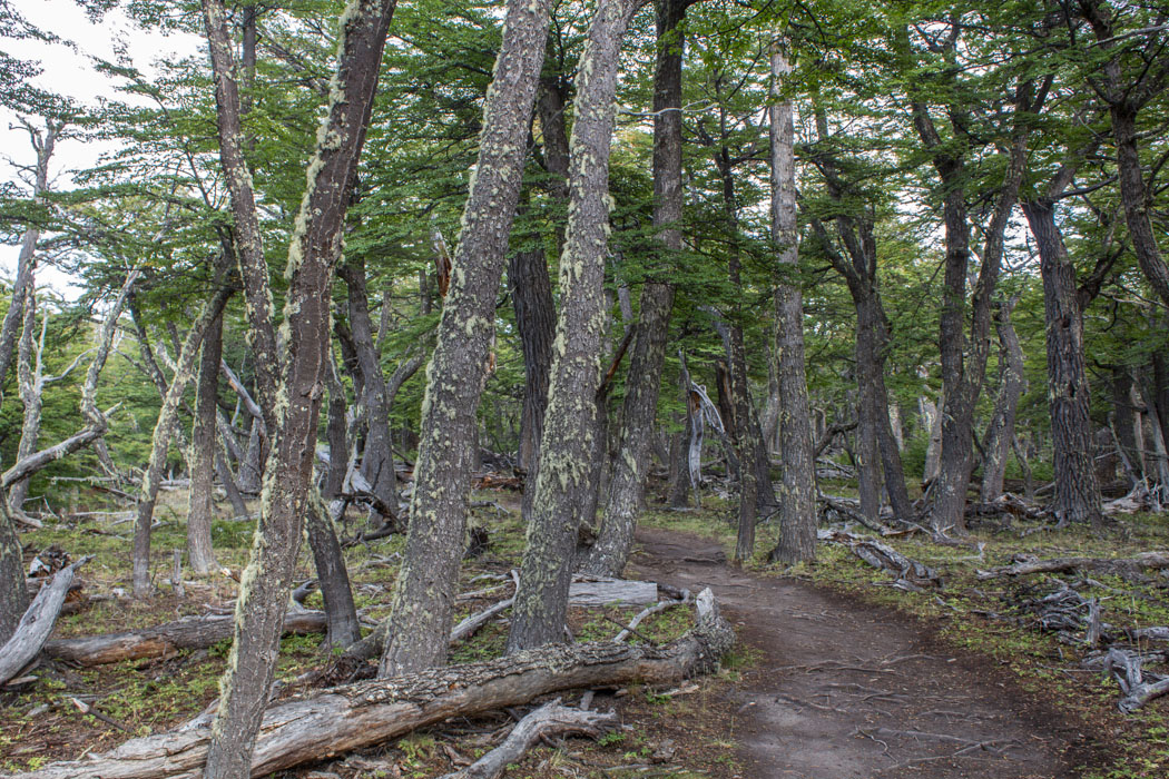 El Chaltén - Wanderung zum Loma del Pliegue Tumbado - durch den Wald