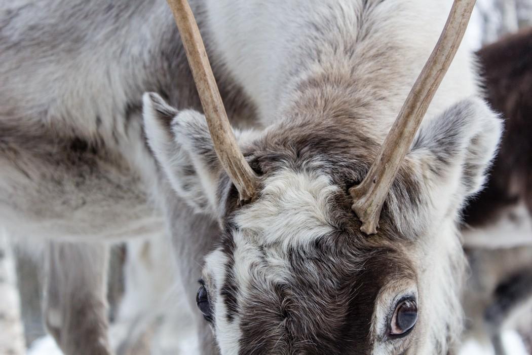 Schwedisch Lappland - 7 Abenteuer, die du erleben musst! z.B. Auge in Auge mit den Rentieren