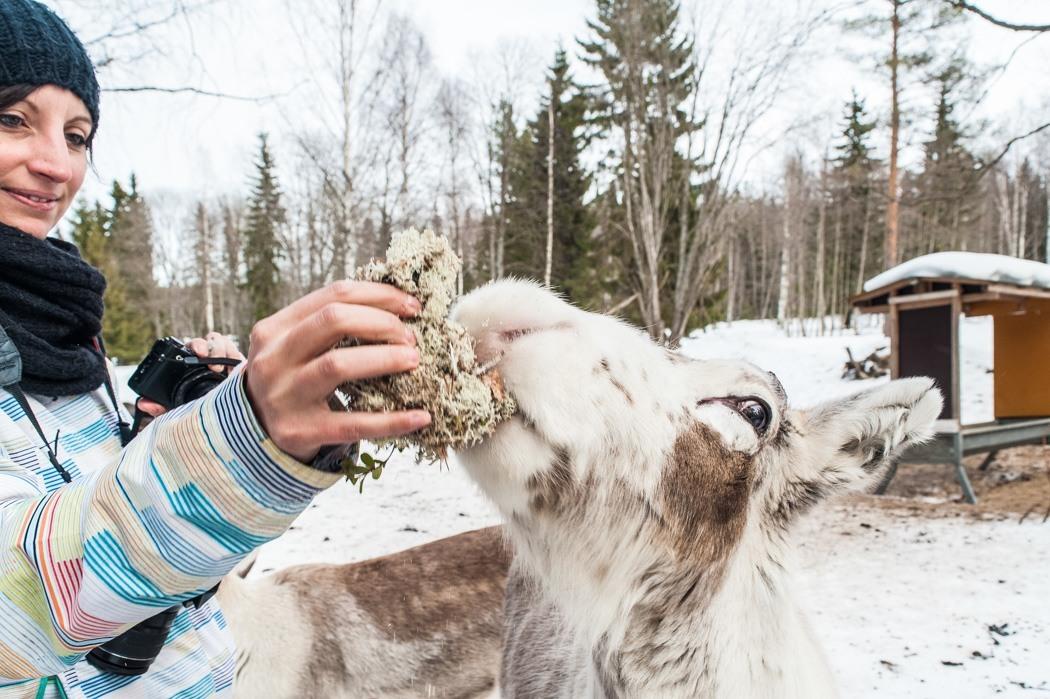 Schwedisch Lappland - 7 Abenteuer, die du erleben musst! z.B. Rentiere füttern