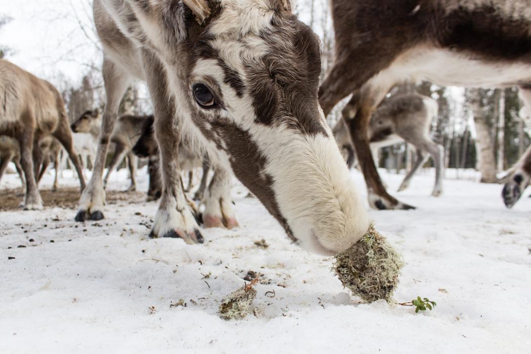 Schwedisch Lappland - 7 Abenteuer, die du erleben musst! z.B. Rentiere