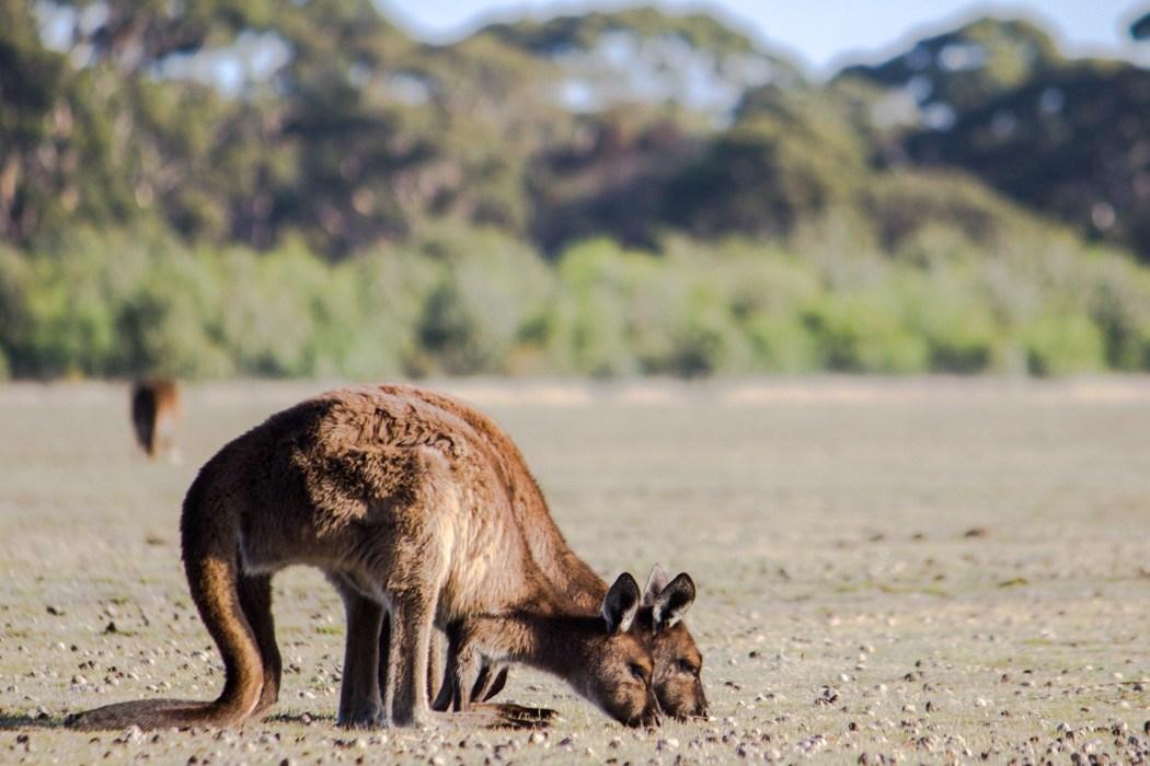 Kangaroo-Island-Highlights-12