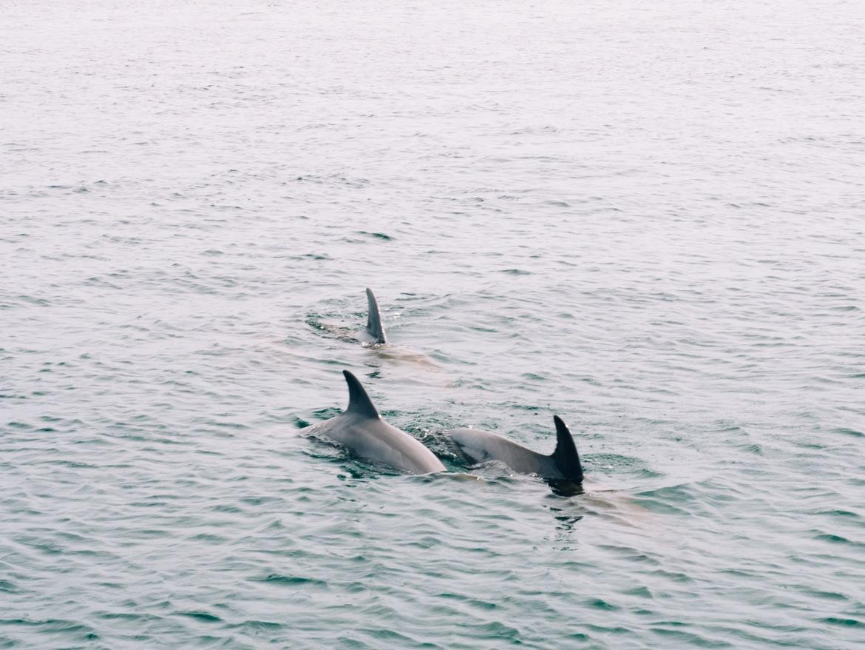 Panama City Beach: Delfine auf der Fahrt nach Shell Island