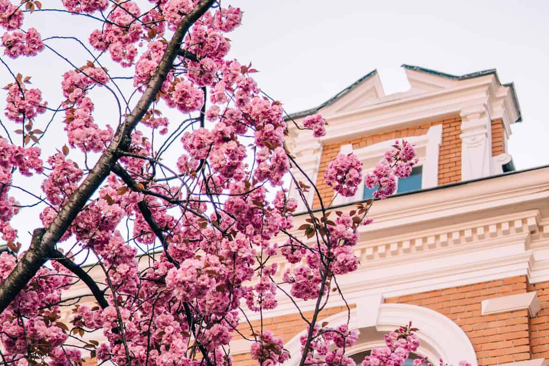 Kirschblüte in Bonn in der Heerstraße - am schönsten Anfang / Mitte April