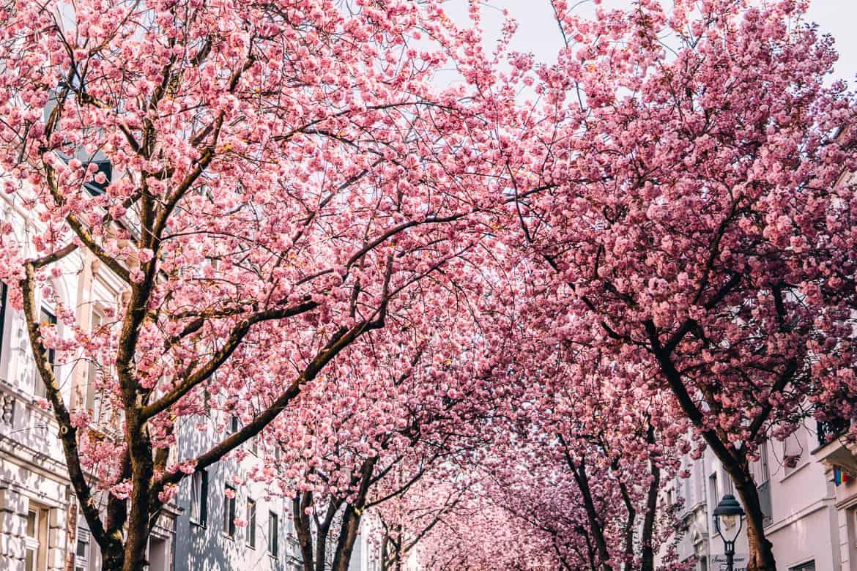 Kirschblüte in Bonn in der Heerstraße - alles rosa