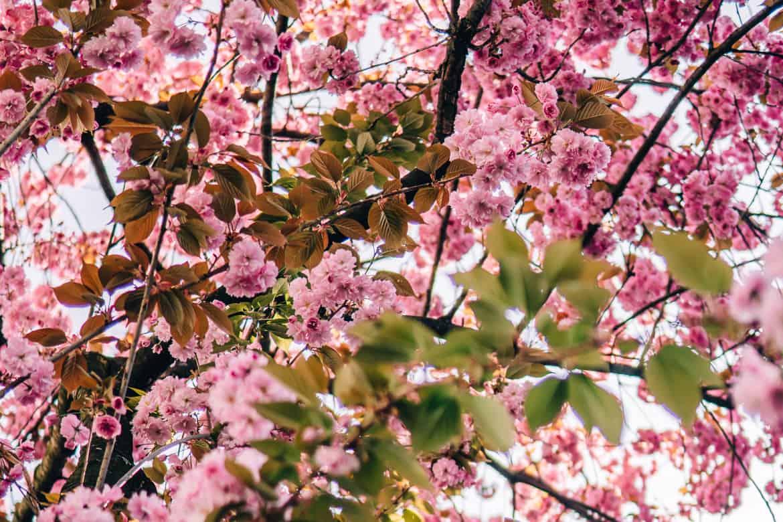 Kirschblüte in Bonn in der Heerstraße - überall dicke Blütenköpfe