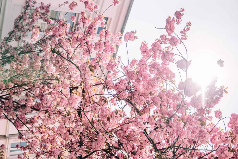 Kirschblüte in Bonn in der Heerstraße - Kischblüten leuchten im Sonnenlicht