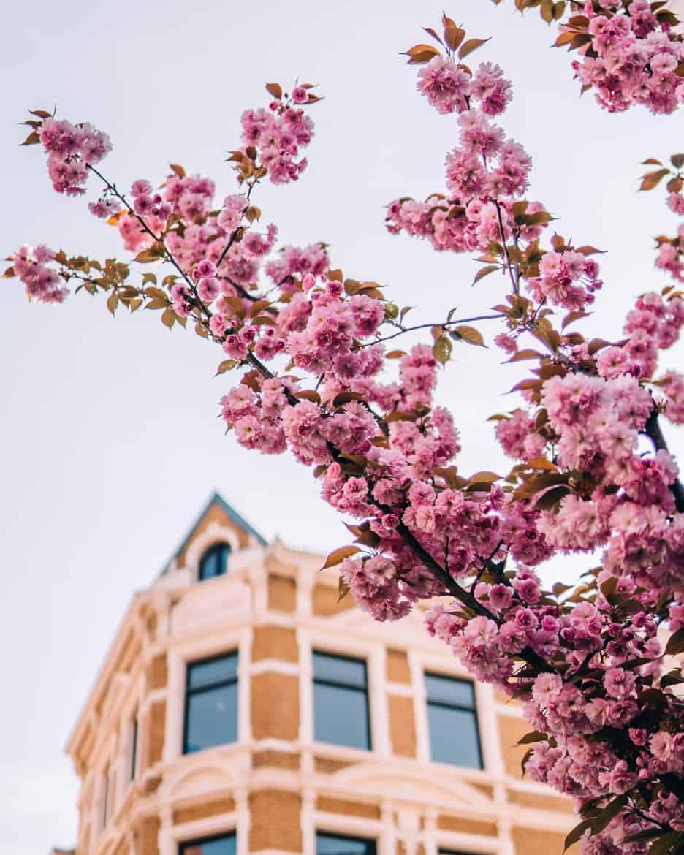 Kirschblüte in Bonn in der Heerstraße - Altstadthäuser mit Kischblüten
