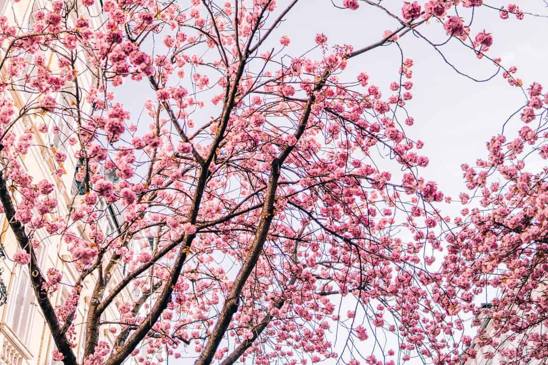 Kirschblüte in Bonn in der Heerstraße - überall Blüten