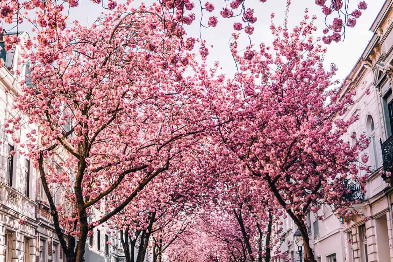 Kirschblüte in Bonn in der Heerstraße - die Kischblütenstraße