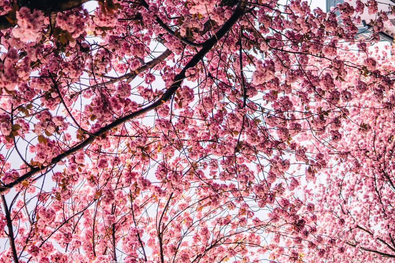 Kirschblüte in Bonn in der Heerstraße - ein Meer aus Rosa