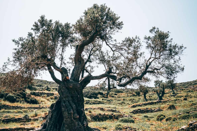 Urlaub auf Paros - Inselhopping auf den Kykladen: Dicke Olivenbäume rund um Lefkes
