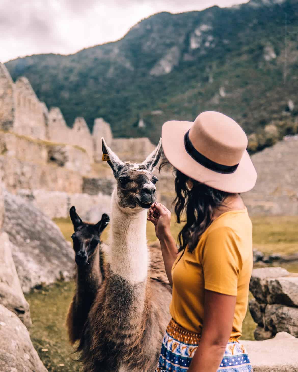Machu Picchu Guide - Lamas in den Ruinen