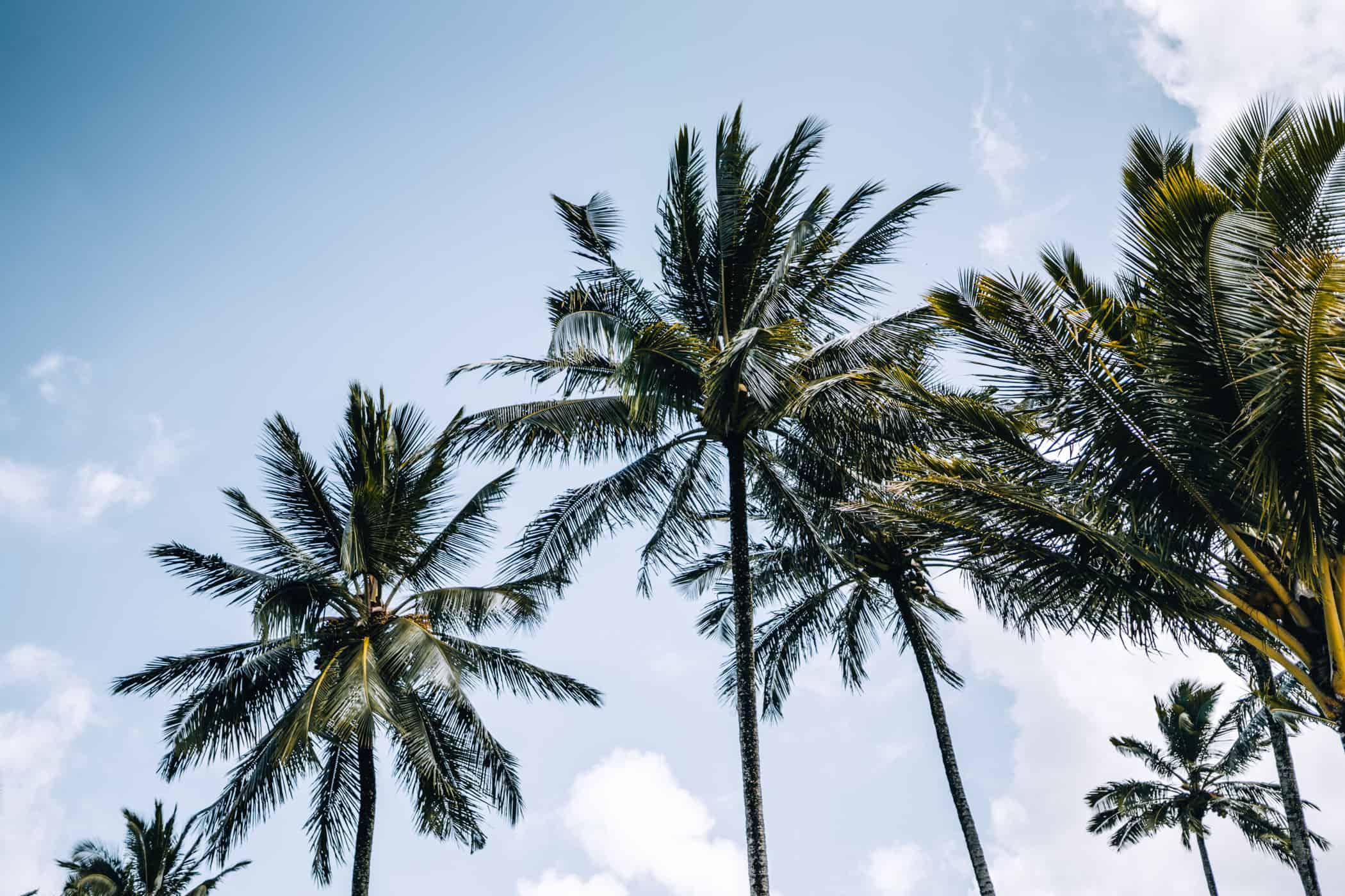 Kauai - Strände, Wandern & Ausflugsziele: Die Garteninsel von HawaiiKauai - Strände, Wandern & Ausflugsziele: Palmen am Hanalei Beach